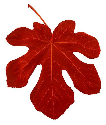 Kırmızı İncir Yaprağı B